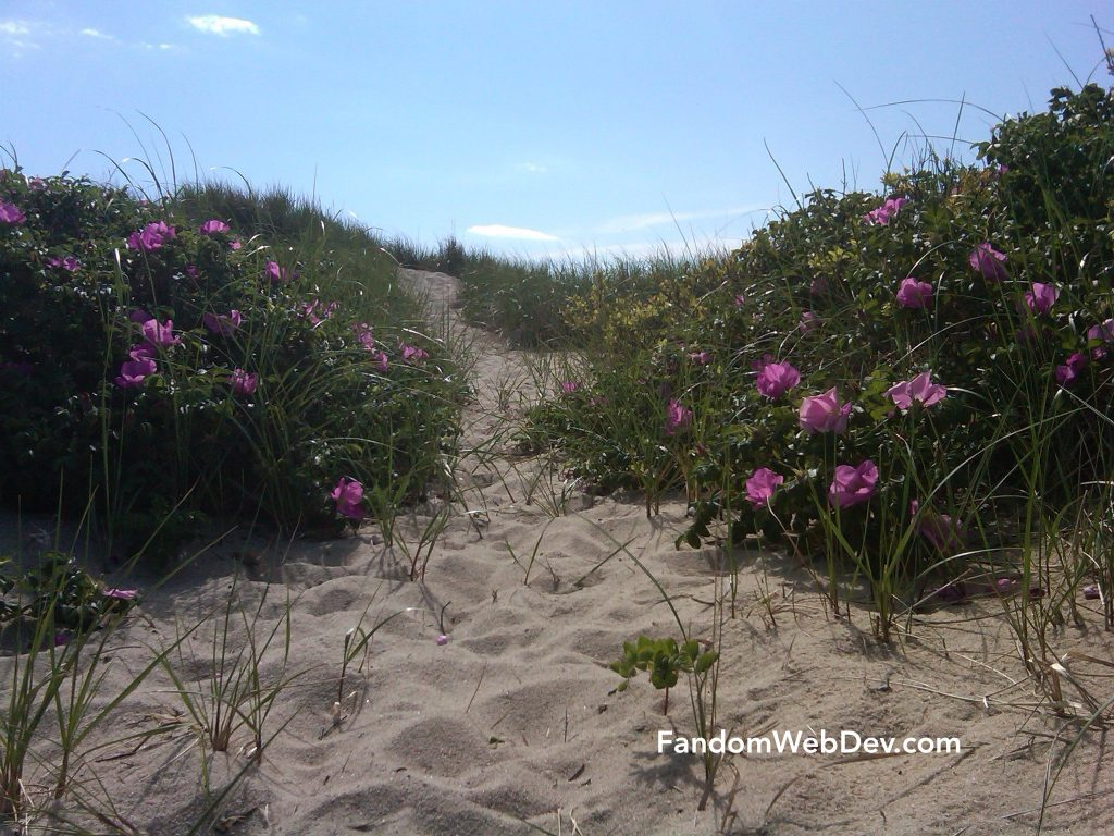 beach roses herring cove